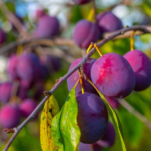Mansfields Ferbleue Plums