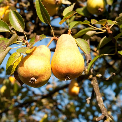 Mansfields Taylors Gold Pear