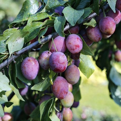 Mansfields Jubileum Plums