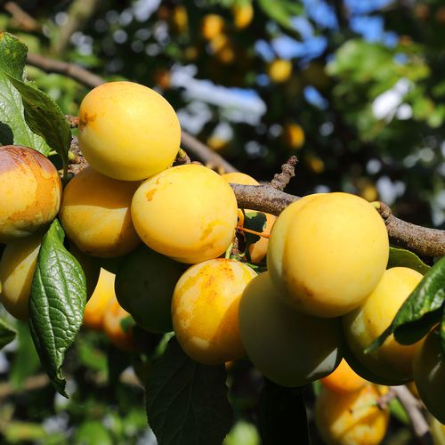 Mansfields Mirabelle Plums