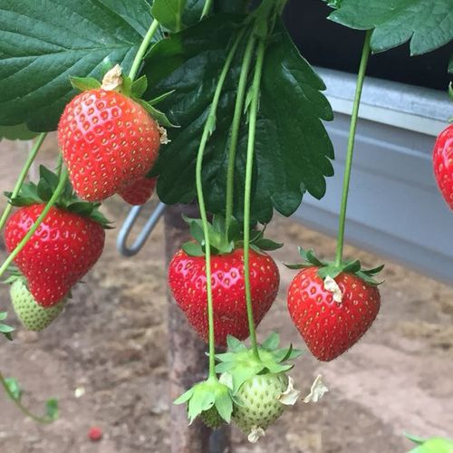 Mansfields Driscoll's Amesti Strawberries